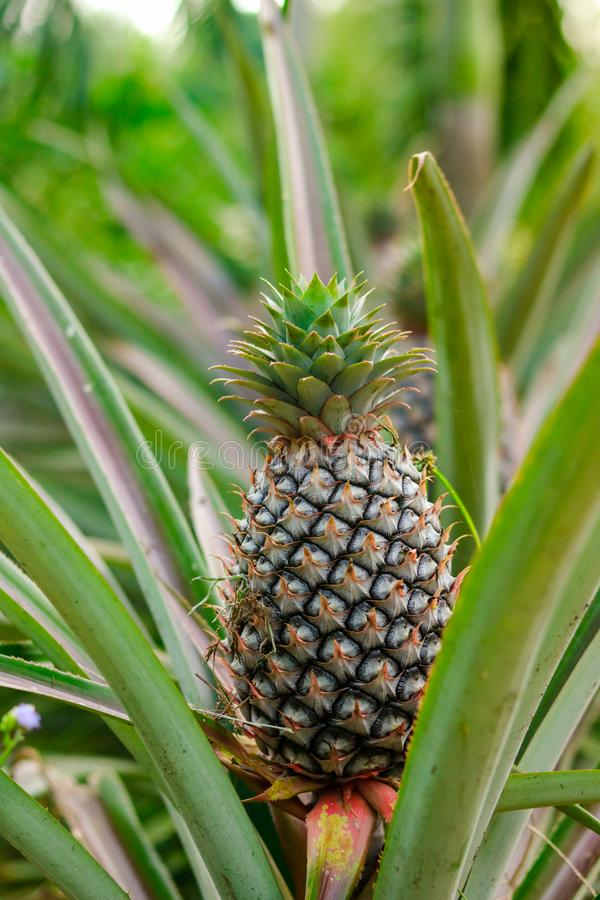 Ripe pineapple on the tree in the garden royalty free stock photos
