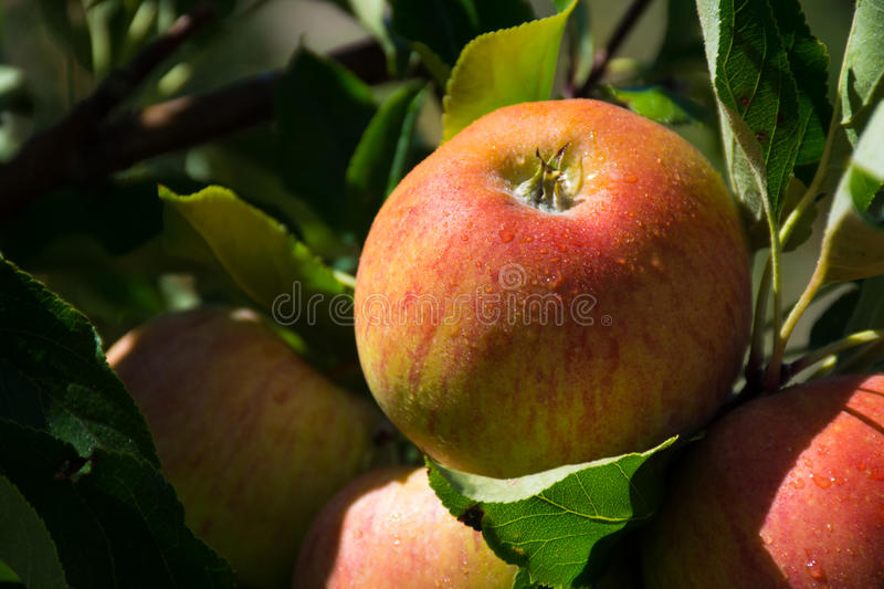 Ripe pink organic apples on the tree. In Provence, France royalty free stock images