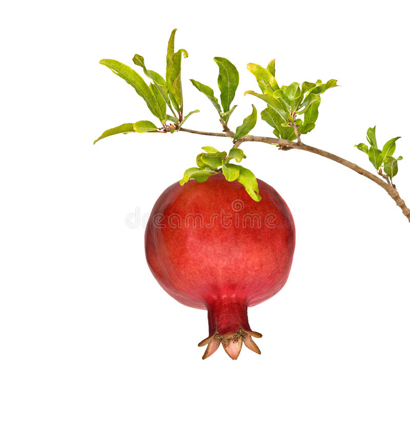 Ripe pomegranate on branch royalty free stock images