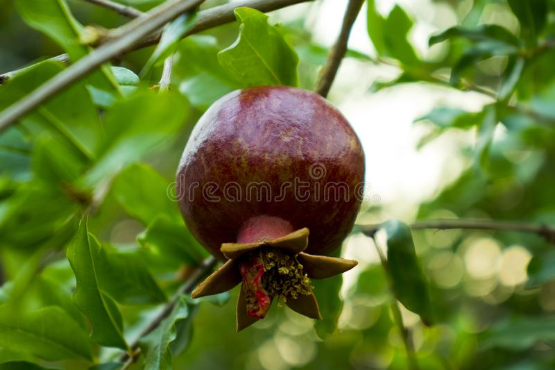 Ripe pomegranate fruit on tree branch, Ripe pomegranate fruits hanging on a tree branches green background royalty free stock photos