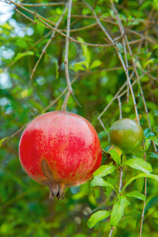 Ripe pomegranate on tree. Ripe pomegranate and leaves on tree royalty free stock photography