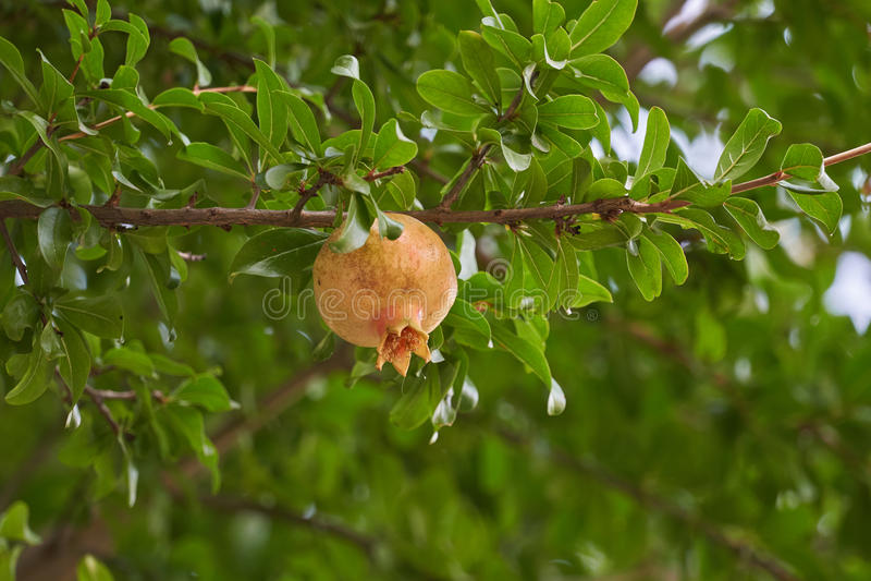 pomegranate on tree stock photography
