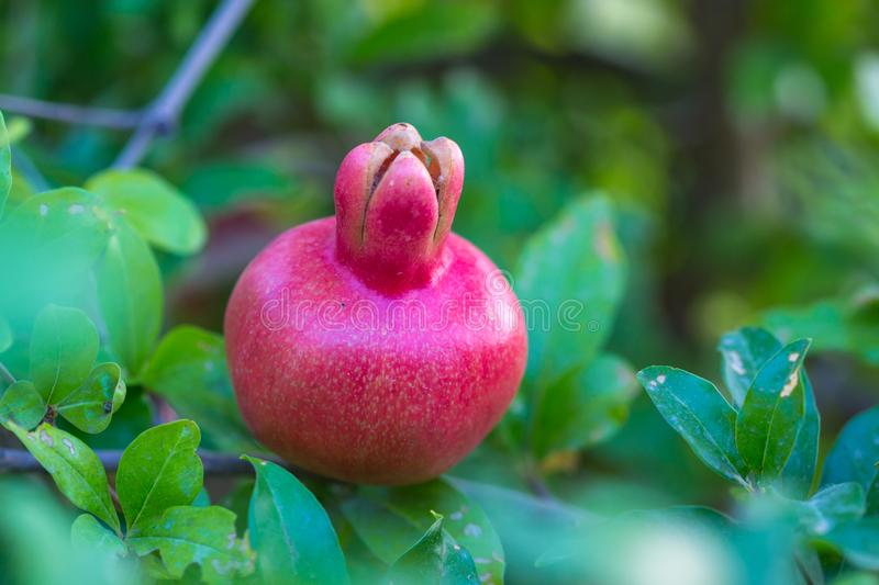 Ripe pomegranate tree is growing in garden garden. Tree branch with fresh pomegranate.  royalty free stock photography