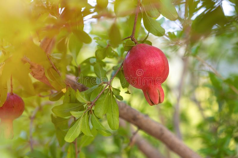 Ripe pomegranate tree is growing in garden garden. Tree branch with fresh pomegranate.  stock photography