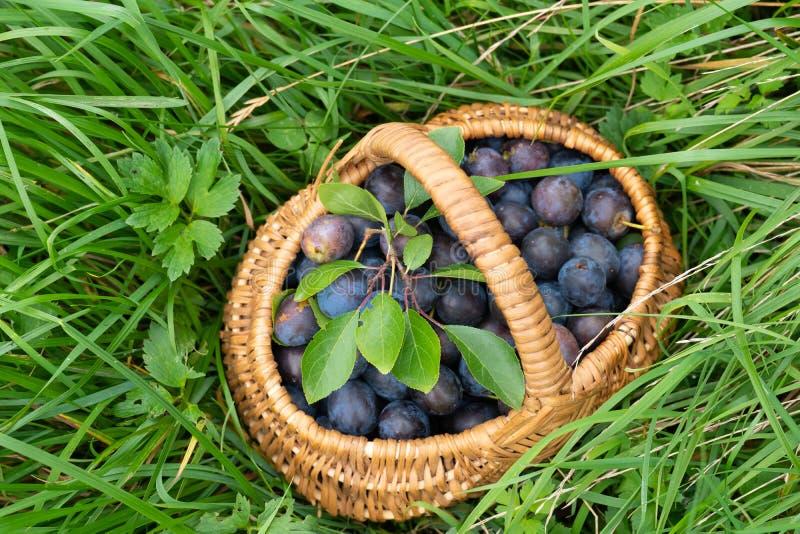 Ripe pruimen in het mandje van de teenwilgen op groen gras royalty-vrije stock afbeelding