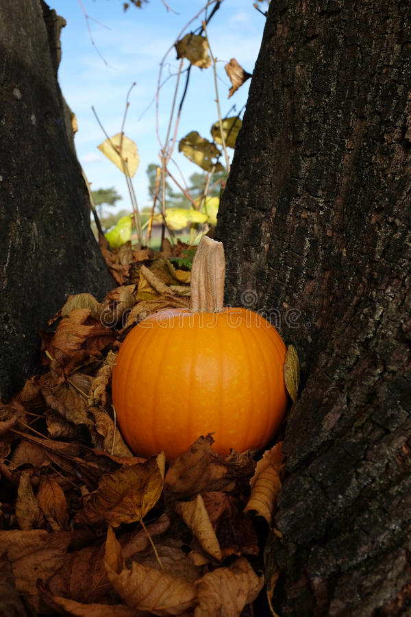 Ripe pumpkin in brown fall leaves against a tree trunk stock photos