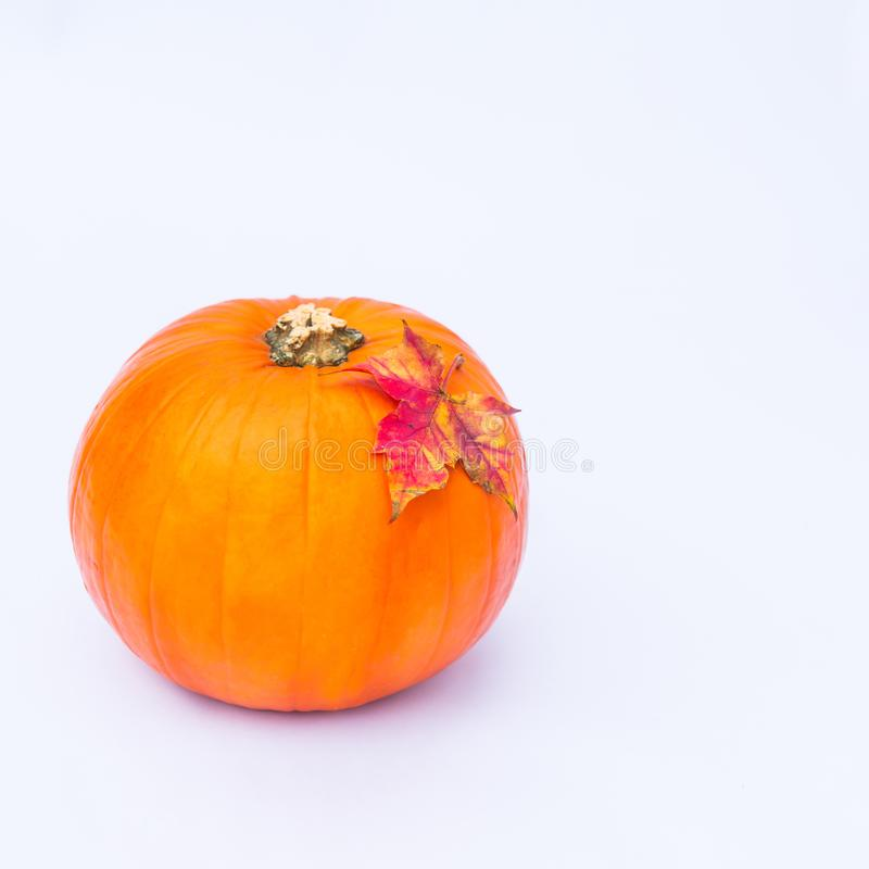 Ripe pumpkin with fall maple leaf on the top on the whote background isolated. Autumn holiday, harvest, Helloween concept. Square. Picture. Selective focus royalty free stock photography