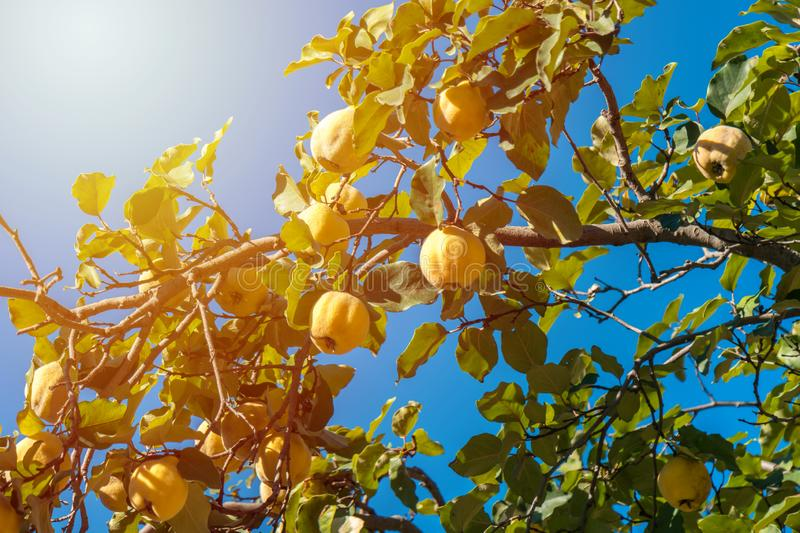 Ripe quince fruits on a brunch in autumn royalty free stock images