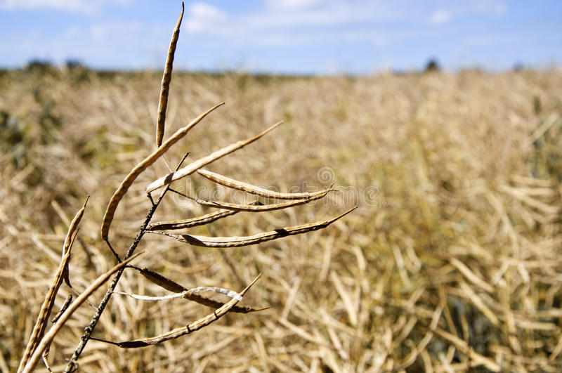Ripe Plants stock photography