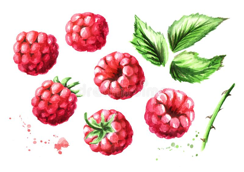 Ripe raspberries and green leaves set. Watercolor hand drawn illustration, isolated on white background royalty free illustration