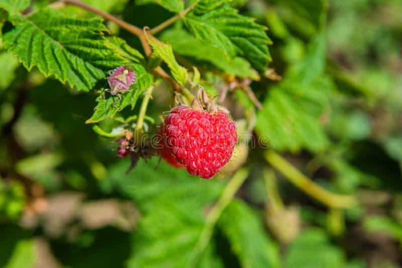 Ripe raspberries. Red sweet berries growing on raspberry bush in fruit garden. Raspberries closeup. stock photo