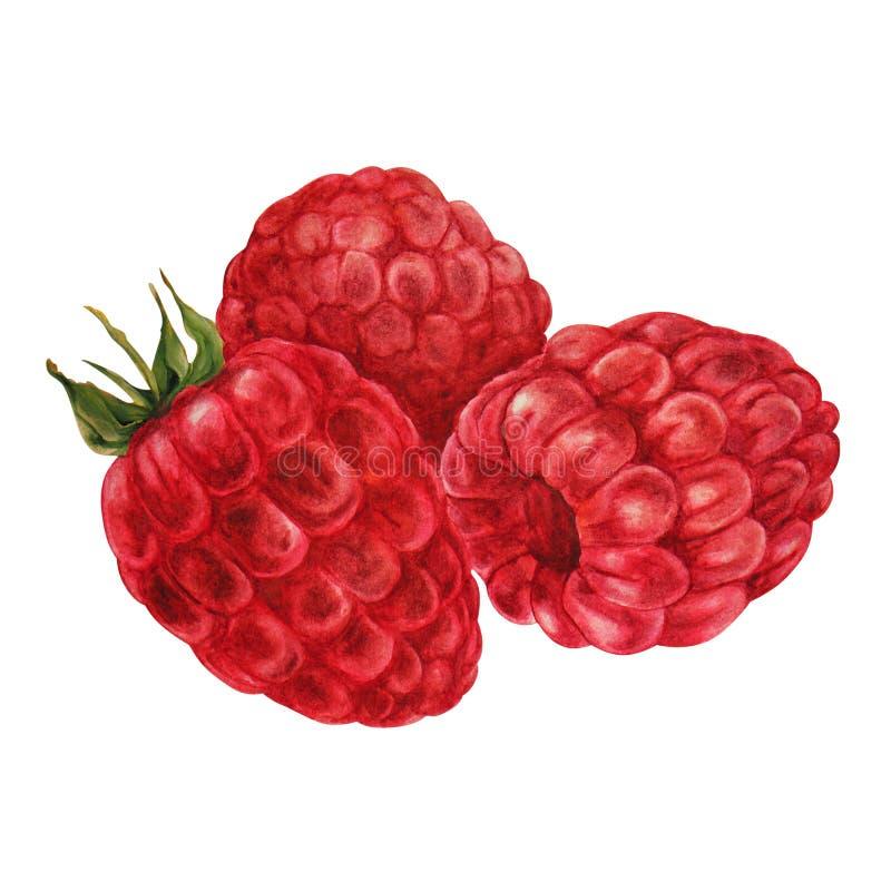Ripe raspberries, three berries stock illustration