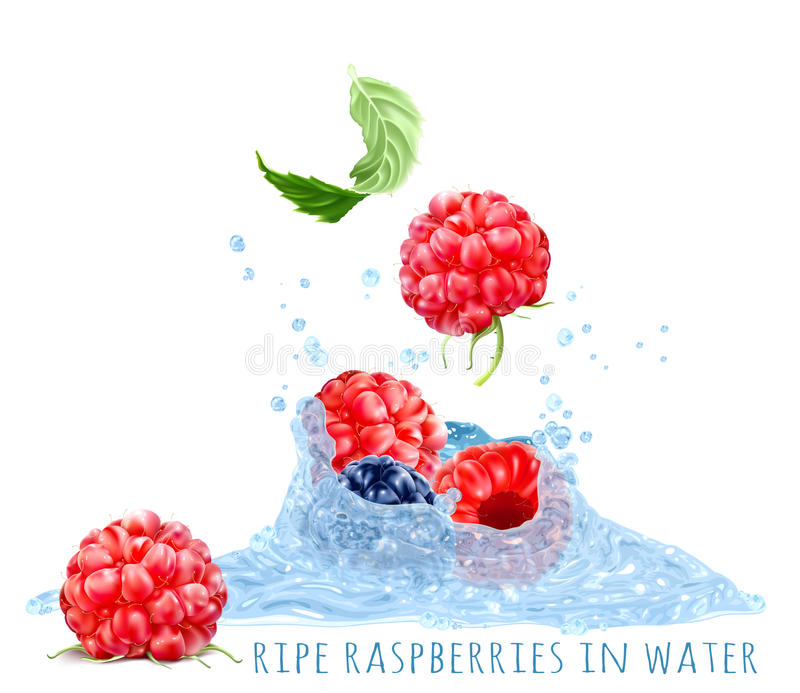 Ripe Raspberries In Water Splash Stock Vector