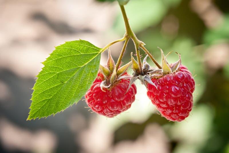 Download Ripe raspberry stock image. Image of leaf, fruit, lifestyle - 25182383
