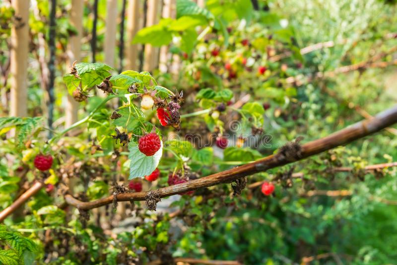 Ripe and dry overripe raspberries on the branches of a raspberry bush in the garden on the background of an old picket fence, rura royalty free stock image