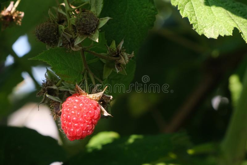 Ripe raspberry stock image