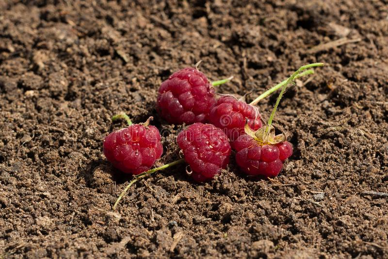 Raspberry is placed on the soil. royalty free stock image