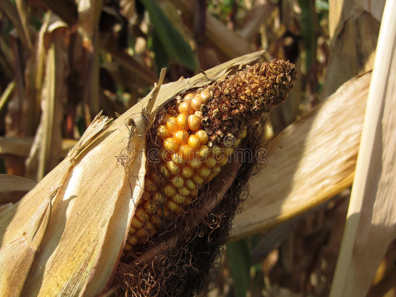Ripe and ready to harvest ear of corn stock images