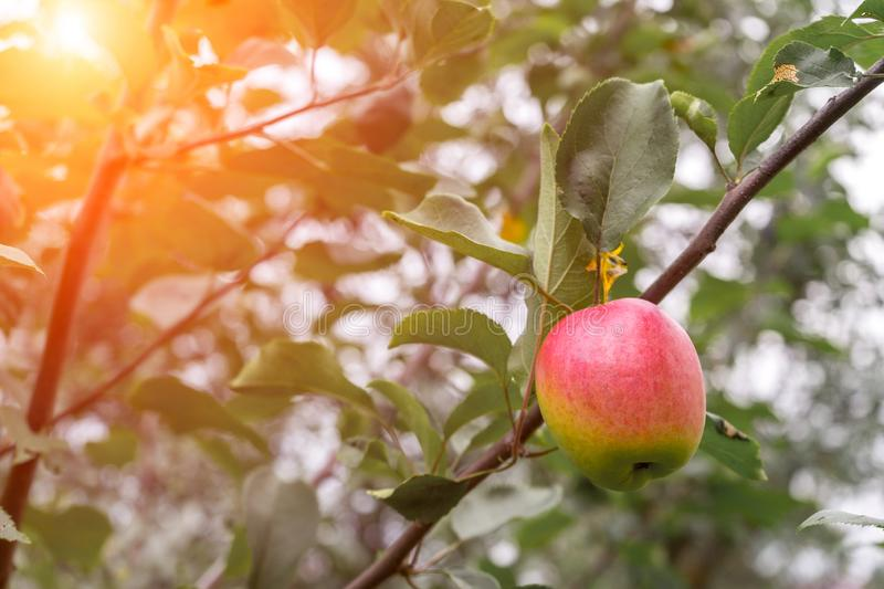 Ripe red apple on tree branch in orchard in autumn sunlight. Green foliage in background.  royalty free stock images