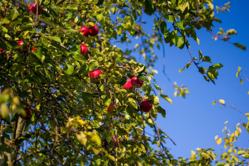Ripe red apples on a green tree branch against a blue sky. Ripe delicious apples hang on the Apple tree royalty free stock images