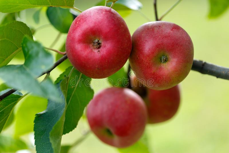 Red apples on branch. Ripe red apples on tree branches ready for picking stock photo