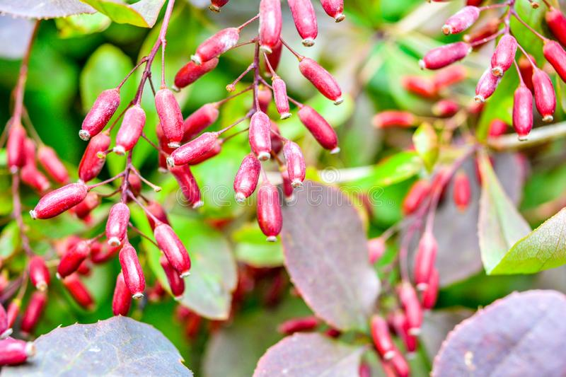 Ripe red berries of barberry on branch close-up. Fructiferous shrub of Berberis. Ripe red berries of barberry on branch close-up. Fructiferous shrub of Barberry royalty free stock image