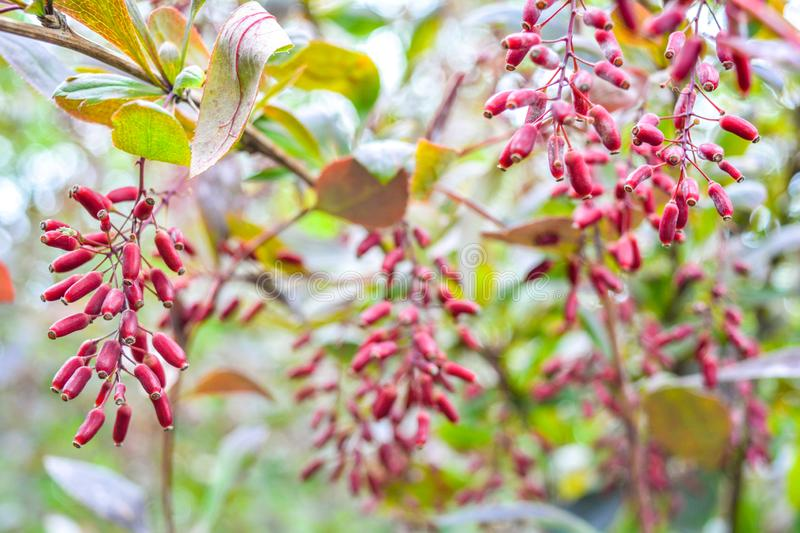 Ripe red berries of barberry on branch close-up. Fructiferous shrub of Berberis. Ripe red berries of barberry on branch close-up. Fructiferous shrub of Barberry royalty free stock photography