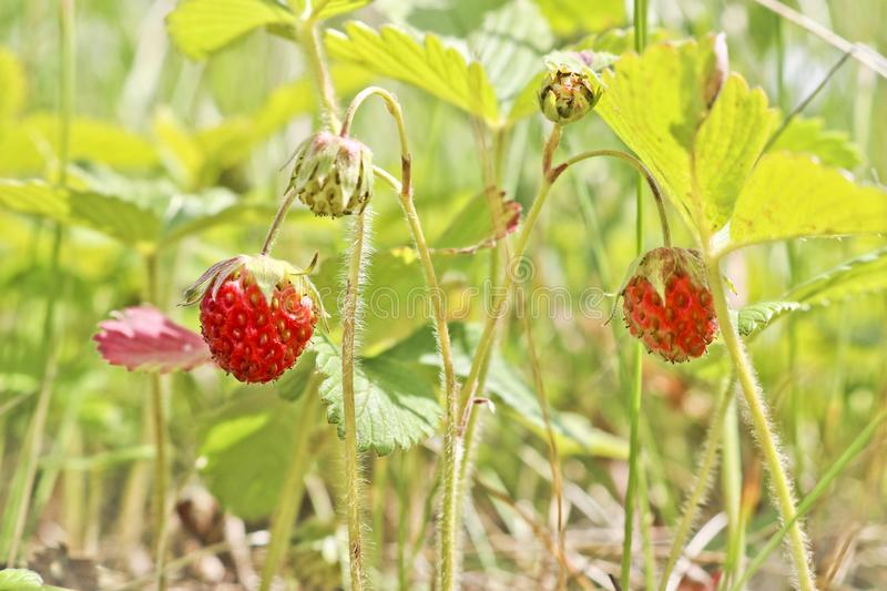 Ripe red berries of wild strawberry forest Fragaria vesca. Fruiting strawberry plant royalty free stock photography
