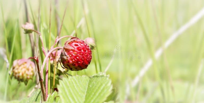 Ripe red berries wild strawberry meadow. Fruiting strawberry plant. Ripe red berries wild strawberry meadow Fragaria viridis. Fruiting strawberry plant. Copy stock photos