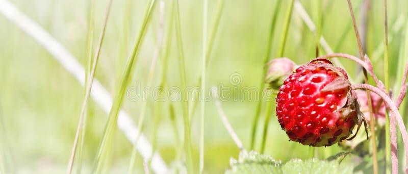 Ripe red berries wild strawberry meadow. Fruiting strawberry plant. Ripe red berries wild strawberry meadow Fragaria viridis. Fruiting strawberry plant. Copy stock photo