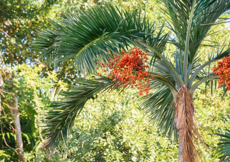 Ripe red betel nuts on betel palm tree. Green natural background. Ripe red betel nuts on betel palm tree. Green natural background stock image