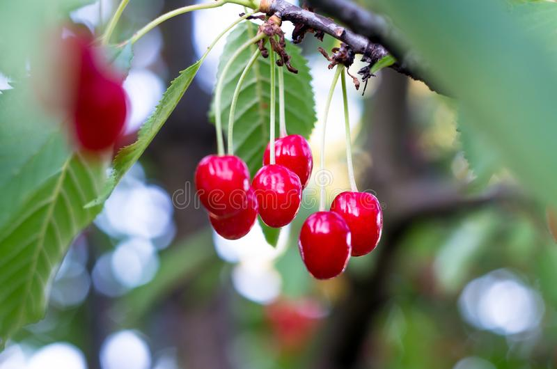 Ripe red cherries of the tree. royalty free stock photography