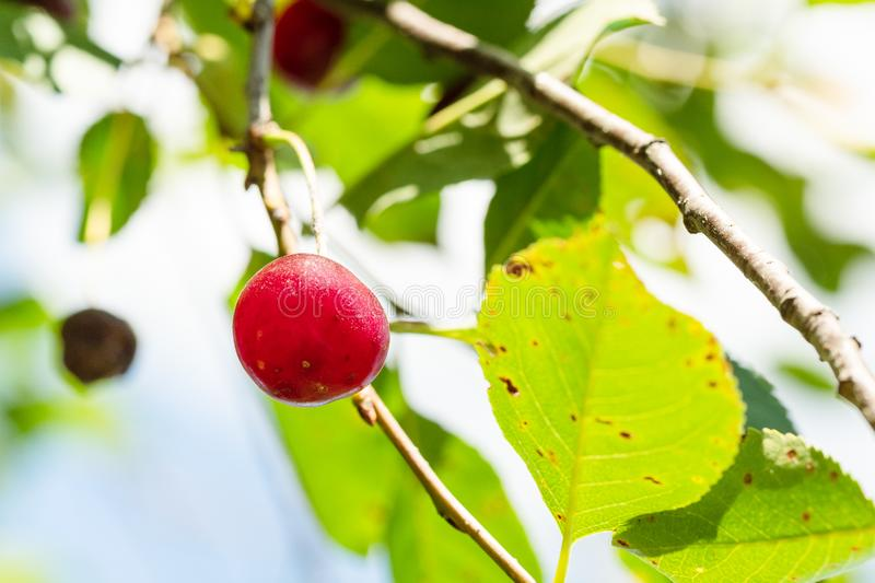 ripe red cherry close-up on twig in sunny day royalty free stock photos