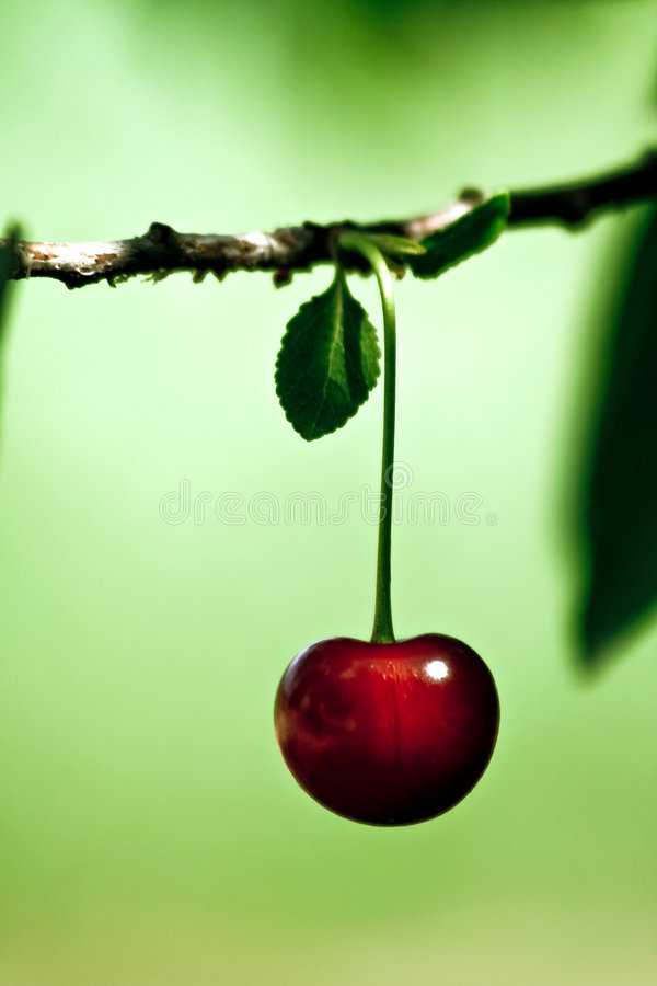 Ripe red cherry in spring. Ripe red cherry on a branch in spring stock photos
