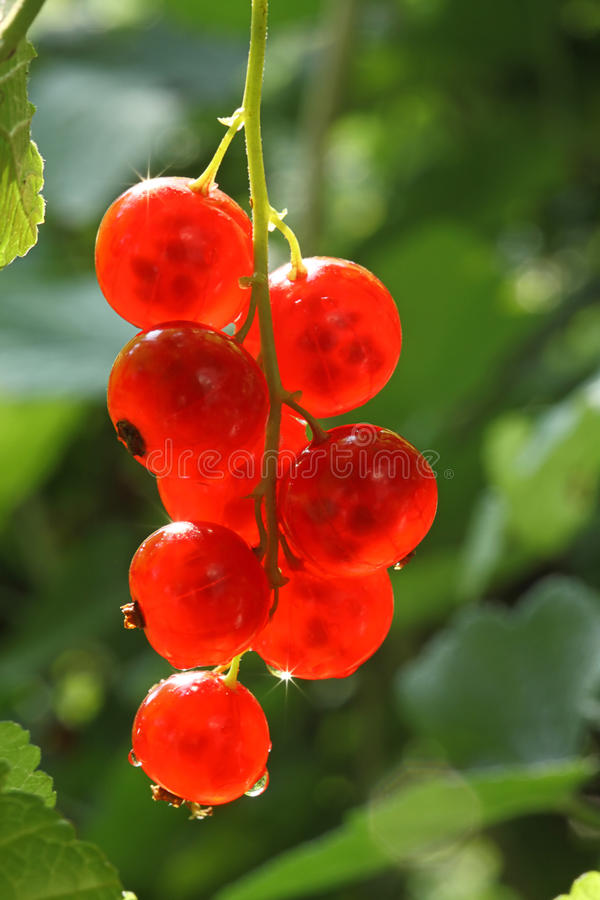 Ripe red currants. Ripe red currants in the garden royalty free stock image