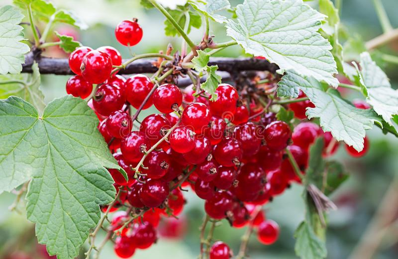 Ripe red currants on a branch currant bush stock photo