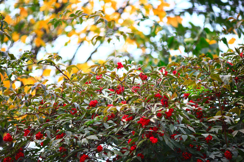 Ripe red elderberry against autumn leaves - with a strong background royalty free stock image