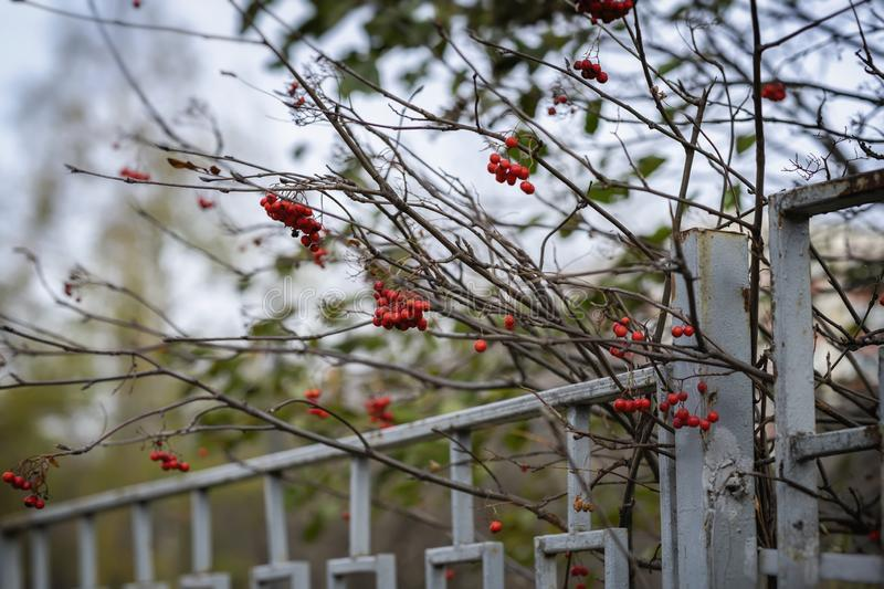 Ripe red elderberry against the sky and an old metal fence, bright colorful shades of nature. Seasons royalty free stock photos