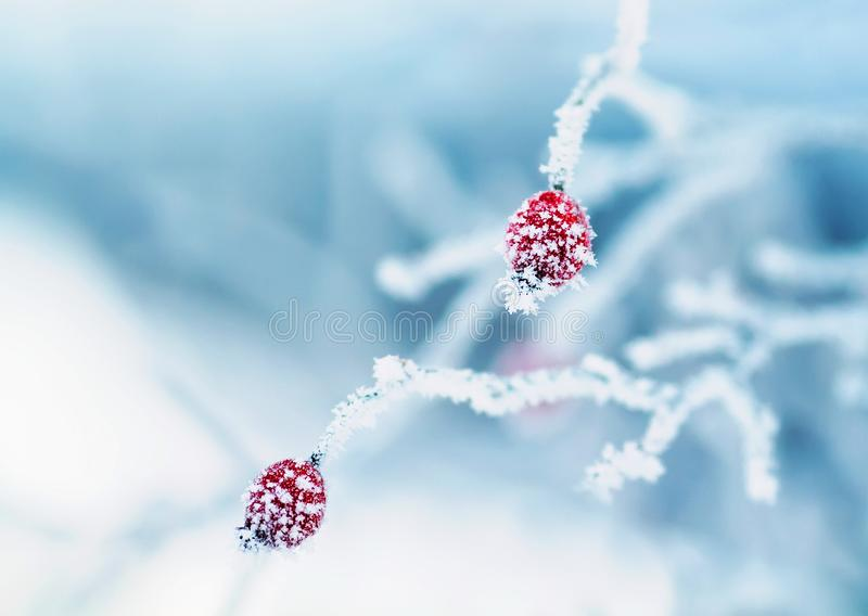 ripe red fruits of the rose hip plant is covered with spiky icicles fluffy white frost royalty free stock images