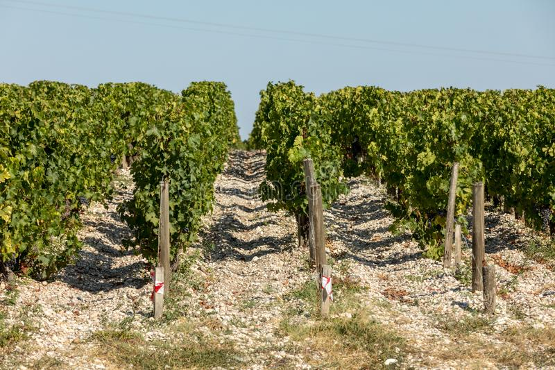 Ripe red grapes on rows of vines in a vienyard before the wine harvest. In  Margaux appellation   Bordeaux region of France stock images