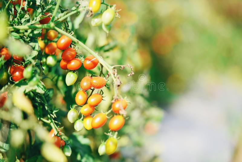 Ripe red and green tomato on vine in garden ready to harvest - tomato plant organic natural agriculture. Ripe red and green tomato on vine in garden ready to royalty free stock photos