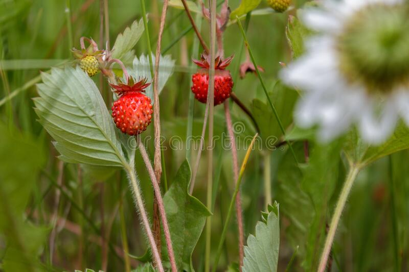 Ripe red juicy sweet berry of wild strawberry field close-up, forest. Berries royalty free stock photography