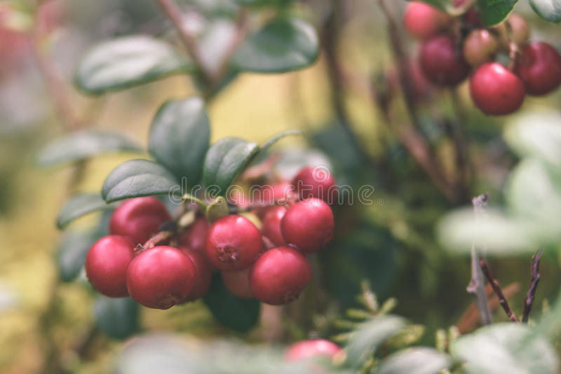 Ripe red lingonberry, partridgeberry, or cowberry grows in pine. Forest with white moss background - vintage effect stock photography