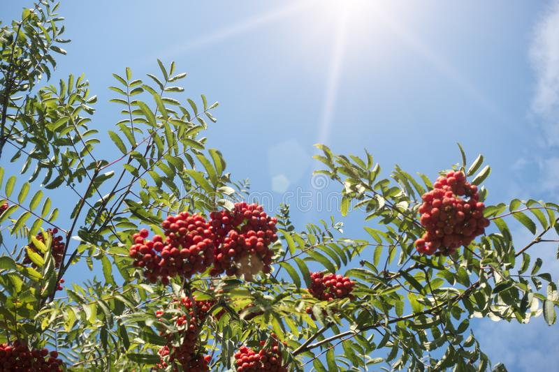 Ripe red mountain ash. Against the background of the blue solar sky stock photography