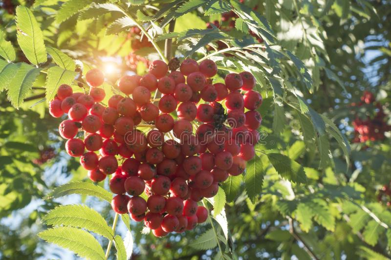 Ripe red mountain ash. Against the background of the blue solar sky royalty free stock images