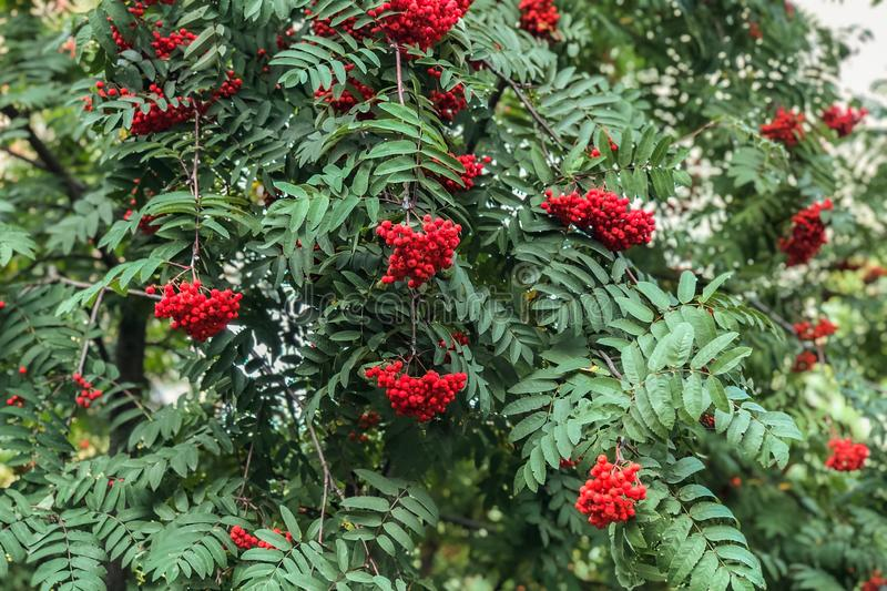 red mountain ash on a growing tree royalty free stock photos