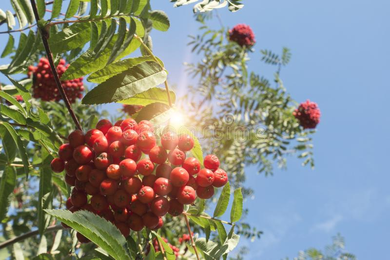 Ripe red mountain ash. Against the background of the blue solar sky stock photo