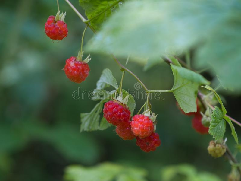 Ripe red raspberries grow in the forest stock photography