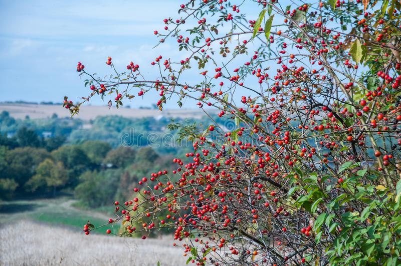 Ripe red rose hips grow in autumn in the steppe on the field. Autumn. Ripe red rose hips grow in autumn in the steppe on the field royalty free stock photography