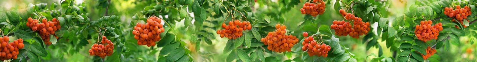 Ripe red Rowan berries on beautiful bokeh nature background with green leaves, wide panorama stock image